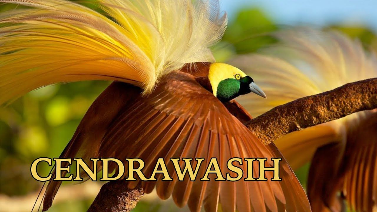 Burung Cendrawasih Endemik Papua Berbulu Indah Burung Berbulu