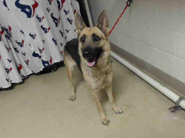 01 09 17 Houston Facility At Capacity All Animals Super Urgent Mya Id A475292 My Name Is Mya I Am A Female Brown An Animal Shelter Animals Dog Adoption