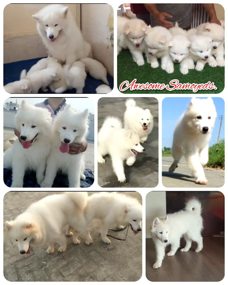 Beautiful Samoyeds Puppies Semi Adults Adults Available From