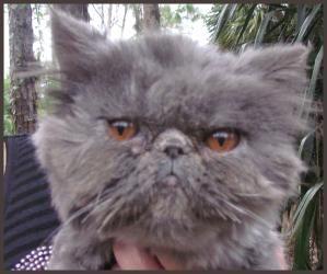 Adopt Shireen On Persian Cat Cats Adoption