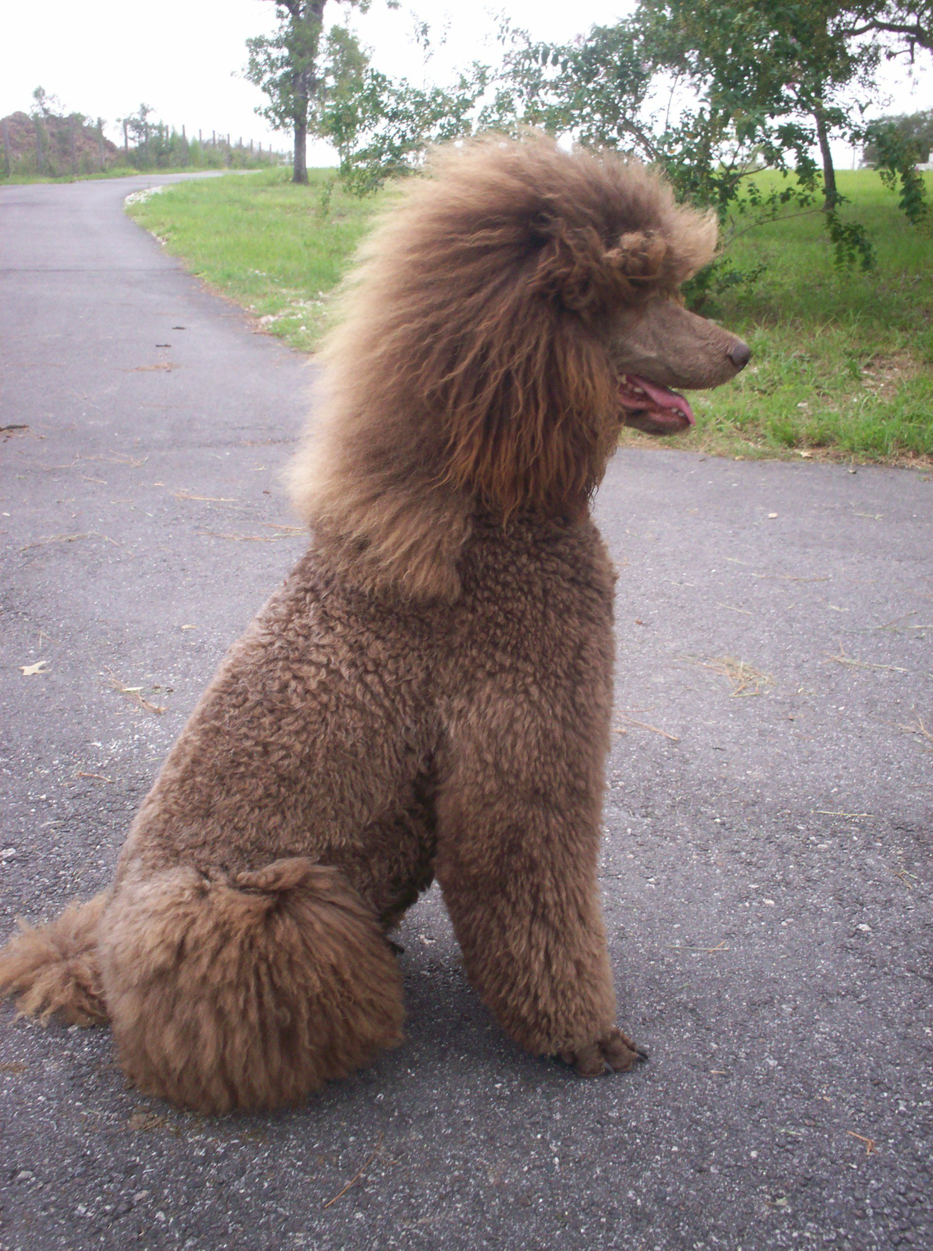 Standard poodle haircuts or of unless soft haircuts standard poodle - The Best Part Is All That Hairs Stays On The Find This Pin And More On Standard Poodles