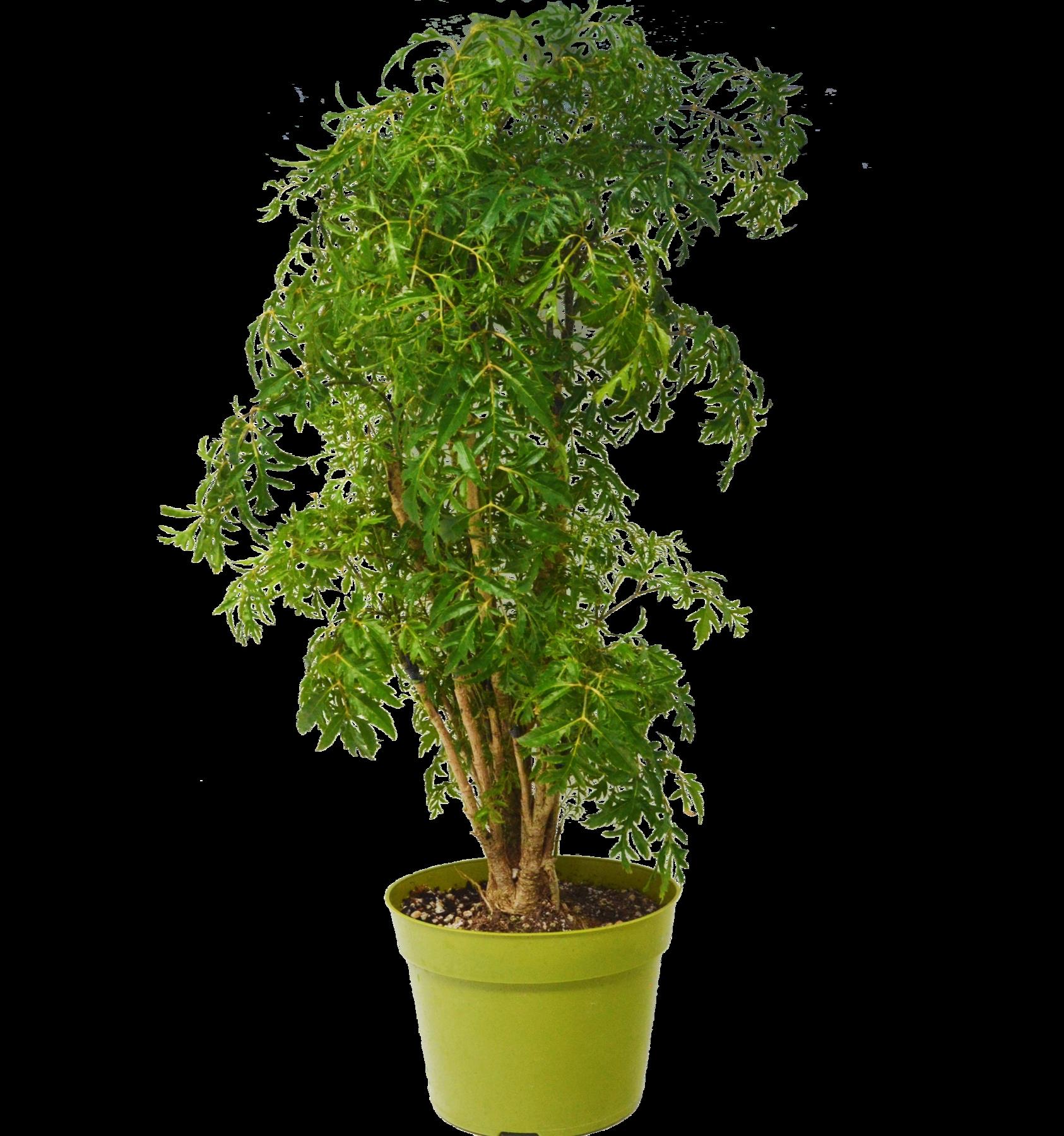 Aralia Ming Stump Plant In 6 Pot Easy Care Plants Perennial