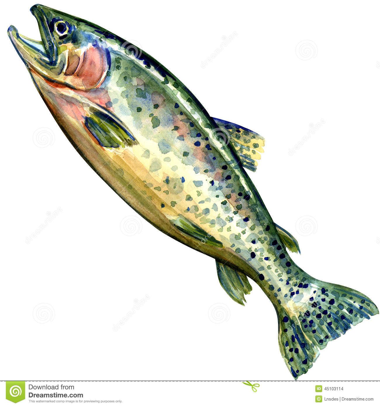 Chinook Salmon Fish Watercolor Painting Stock Photos Image