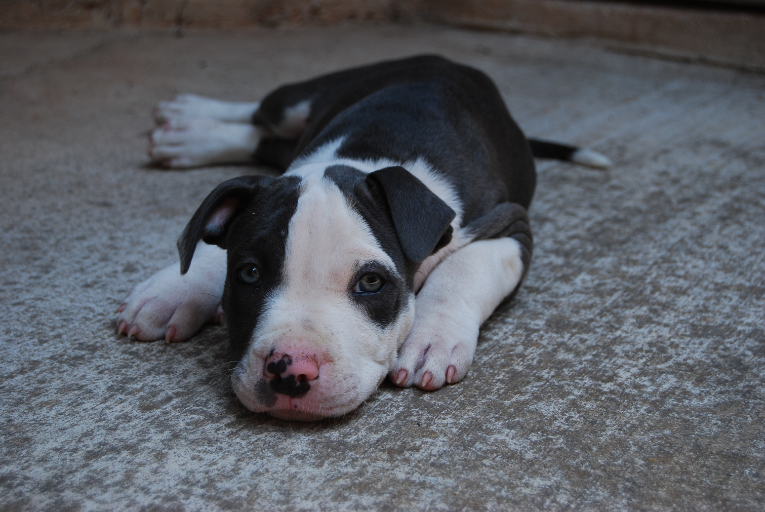 Free Blue Pitbull Puppies Here Are Some Pictures Of Our