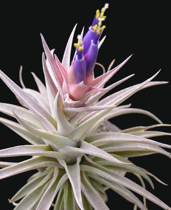 Large Tillandsia Hondurensis