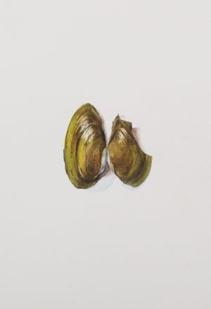 Saara Vainio: Baby-Simpukka / Baby Shell. Watercolour, 14 x 18 cm. 2010