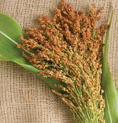 Red Broom Corn Broom Corn Seed Johnny S Selected Seeds Broom Corn Ornamental Grasses Garden Seeds