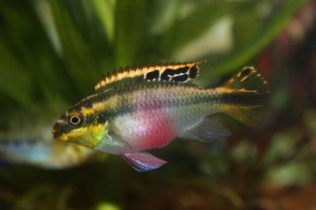 Common Krib Rainbow Krib Rainbow Cichlid Pelvicachromis Pulcher Krebensis Female Freshwater Aquarium Fish Cool Fish Cichlids