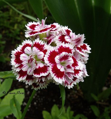 Red And White Striped Sweet William Dianthus Barbatus Sweet William Dianthus Barbatus Dianthus Flowers