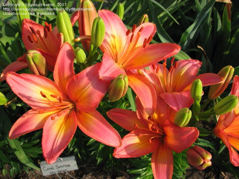 Coral Colored Lilies For The Bouquet Lily Plants Day Lilies