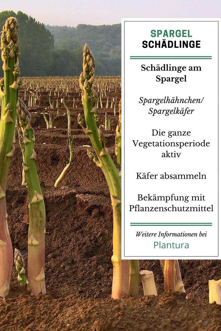 Spargel Krankheiten Schadlinge Und Pflanzenschutz Plantura Pflanzen Schadlinge Im Garten Spargel Pflanzen