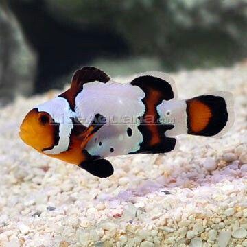 Black Ice Ocellaris Clownfish Clown Fish Saltwater Aquarium Fish Saltwater Fish Tanks