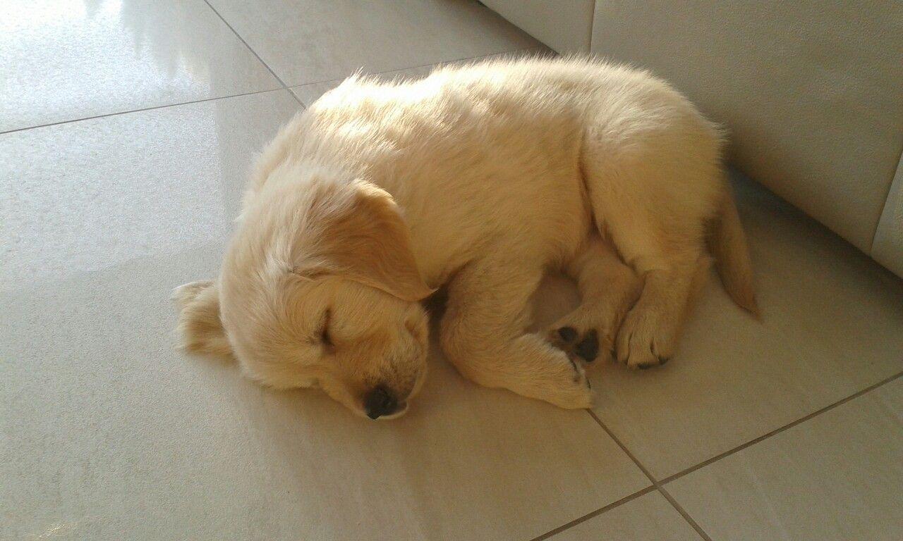 Golden puppy