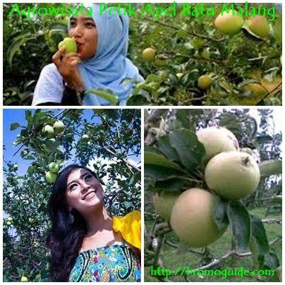 Kebun Apel Batu Malang Jawa Timur