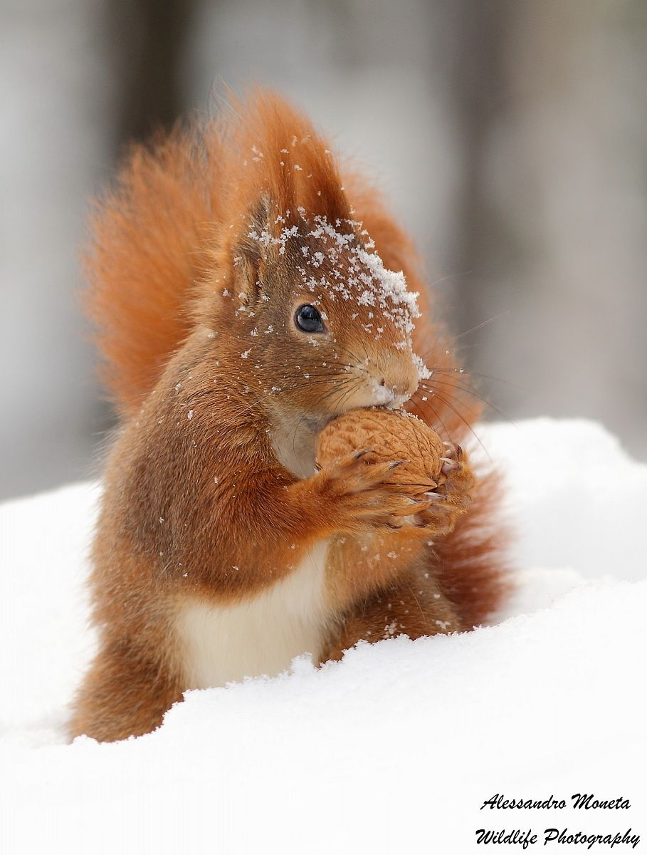 Red Squirrel...