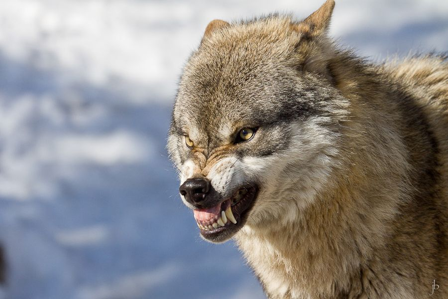 Angry white wolf face