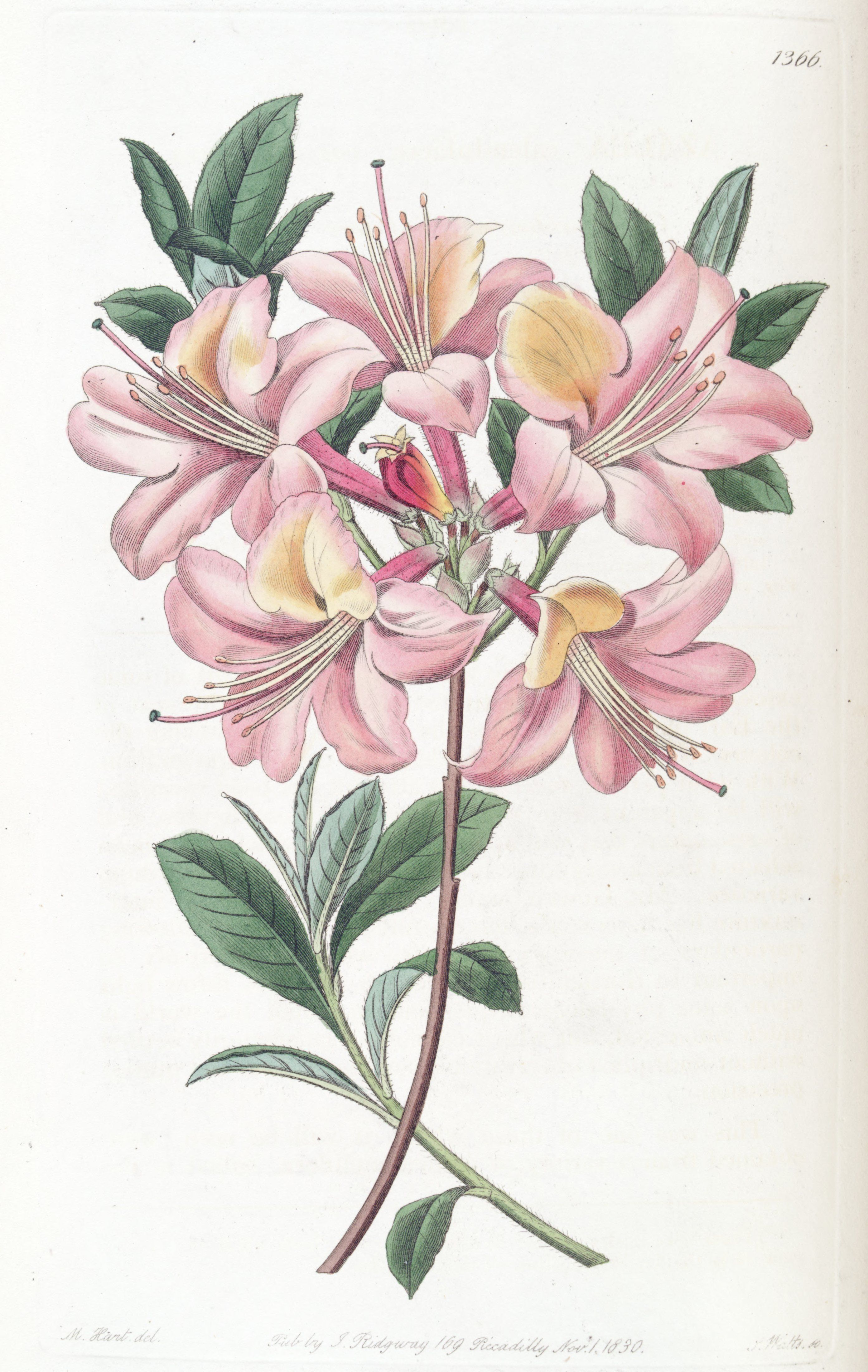 Pin By Don Mcculley On Rhododendron And Azalea Illustrations Flower Drawing Flower Illustration Floral Graphic Design