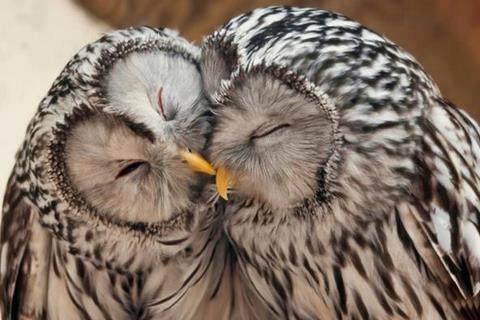Búhos son amor