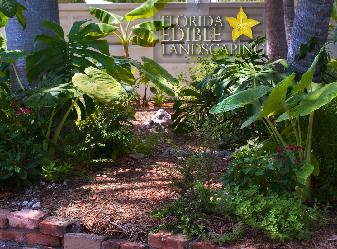 Edible landscape in Key West Florida Did you know you could grow