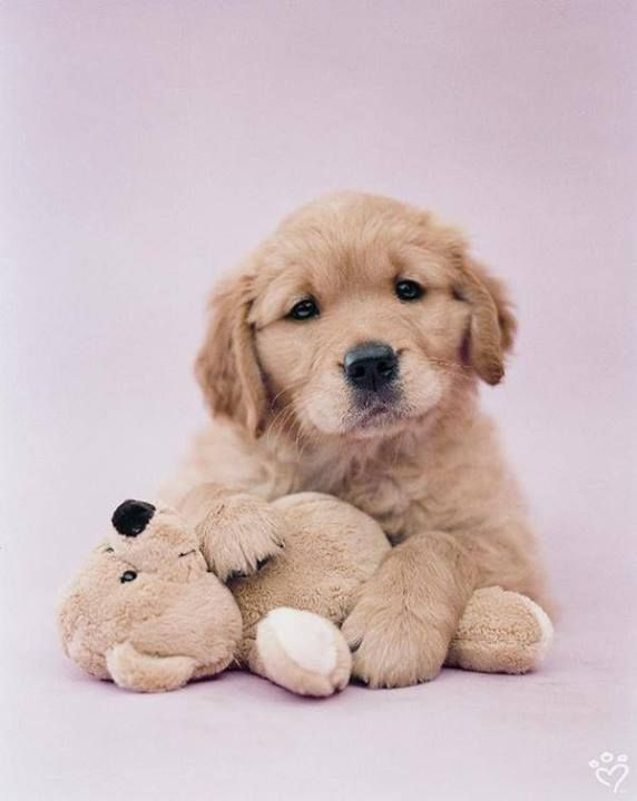 Golden Retriever Puppy With A Stuffed Bear Just Like Ted When He