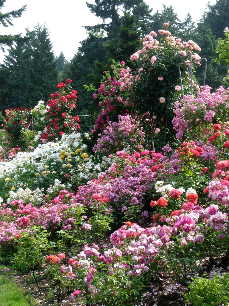 energy at the Portland Rose Gardens, where the widest variety of roses are grown.