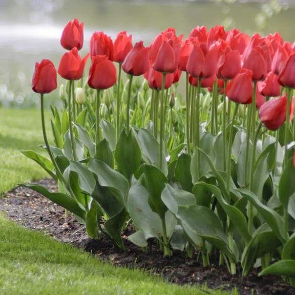 Tulip Darwin Hybrid Red Impression Tulip Bulbs Types Of Tulips Fall Plants