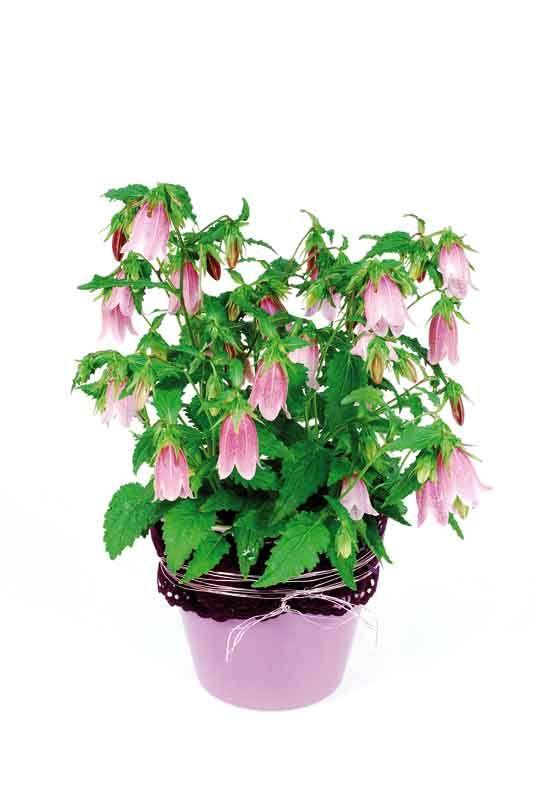 Kórejský zvonček (Campanula takesimana)  Rozširuje sa rizómami. Má vzpriamený rast a dorastá do výšky 80 cm. Od júla do augusta sa objavia ružovo - biele kvety. Vysádza sa do piesčito - humóznej až piesčito - hlinitej pôdy s pH kyslým až alkalickým. Darí sa jej na svetlom mieste, neznáša priame slnko. Pestovať sa môže v záhone i črepníku. Substrát sa udržiava rovnomerne vlhký a v období rastu sa pridáva do každej tretej zálievky hnojivo. Prezimovať by mala na mieste, kde nemrzne.