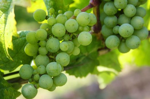 فوائد العنب الأخضر Green Grapes Grapes Fruit