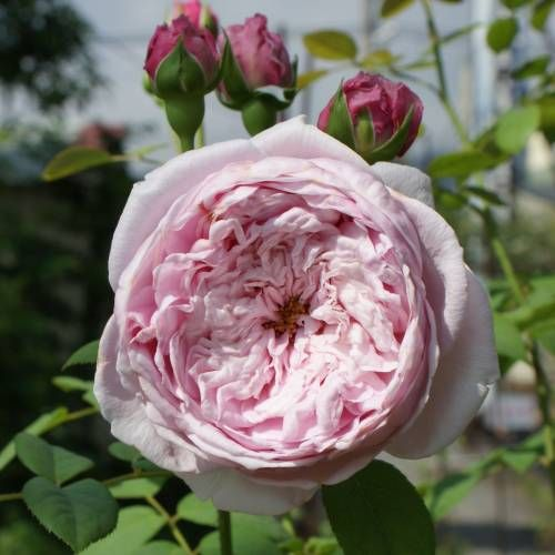 Spirit of freedom rose rosier 39 spirit of freedom 39 flora fauna pinterest flowers and - Flowers that mean freedom ...
