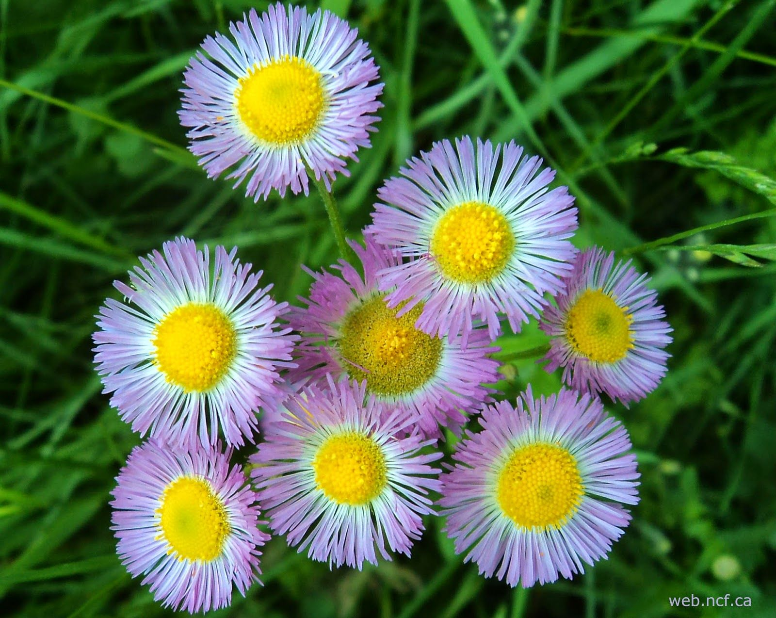 Fleabane in the Yard Garden, Wild flowers, Patio garden