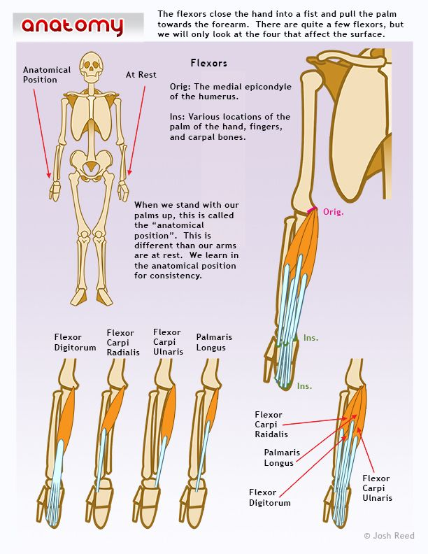 Muscles of the lower arm: flexors | disegno anatomia | Pinterest ...