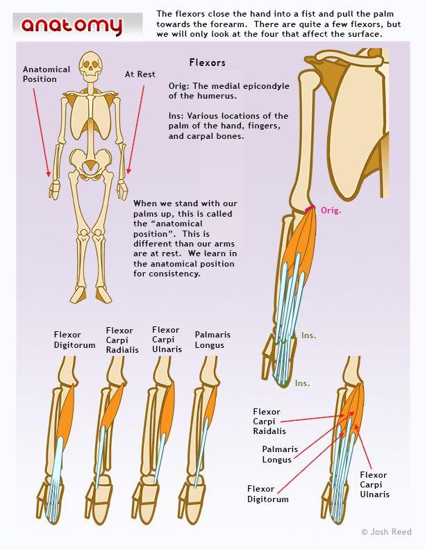 Muscles of the lower arm: flexors | Hand | Pinterest | Anatomía ...