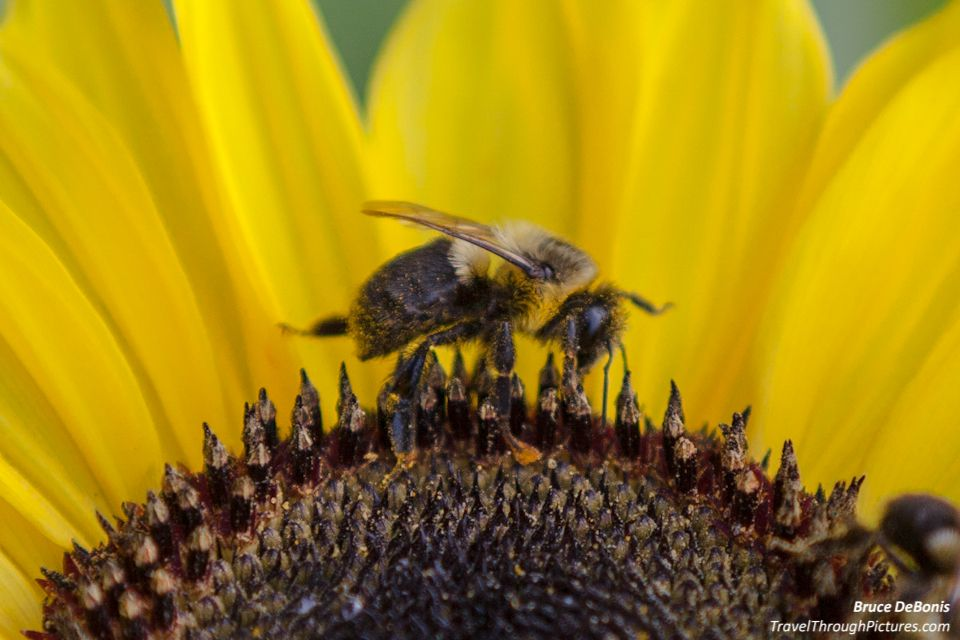 Terrorist Bees - How to photograph bees TravelThroughPictures.com