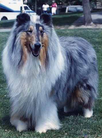 Blue Merle Rough Collie Beautiful 3 Rough Collie Collie