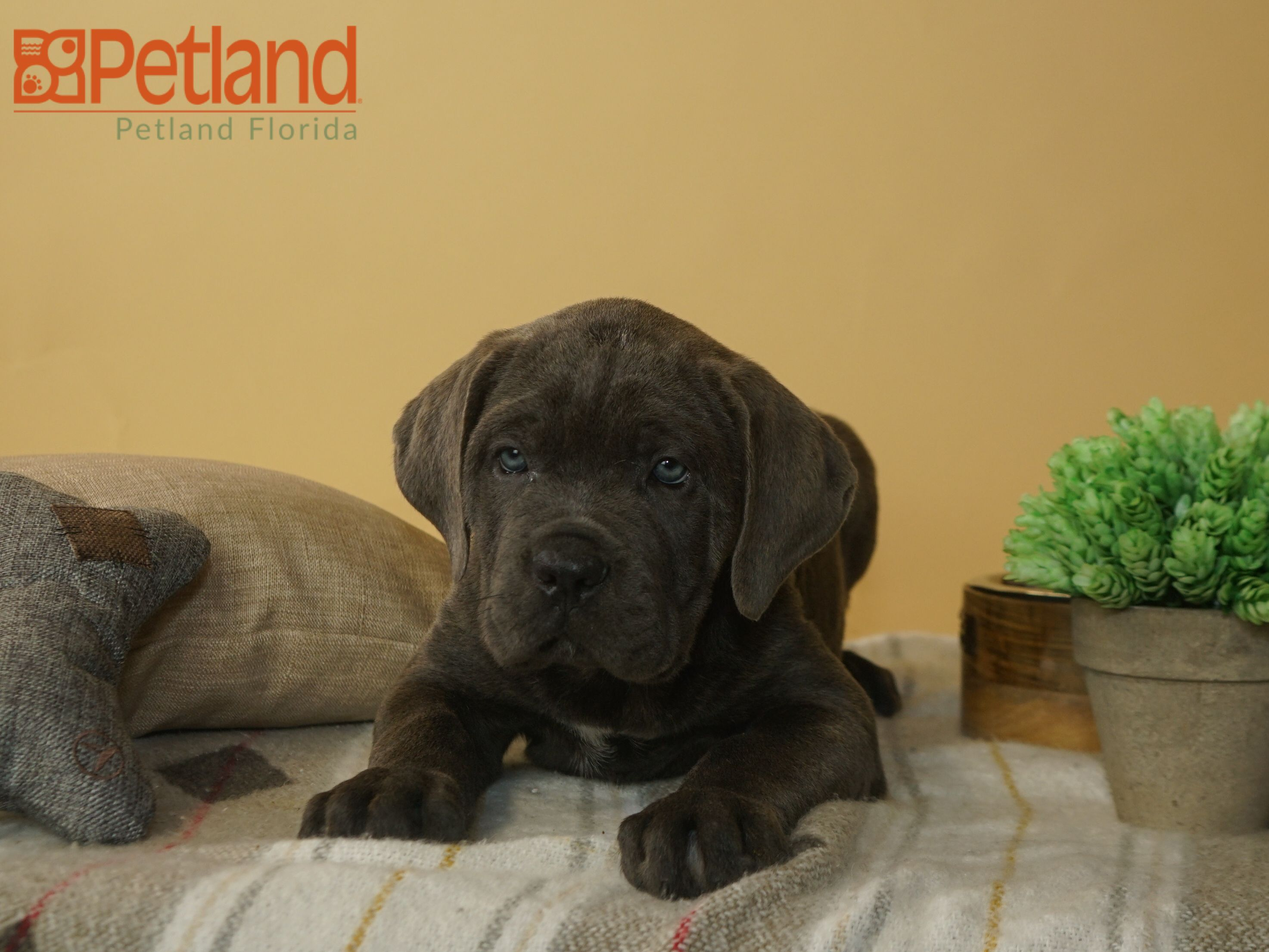 The key to happiness is a Cane Corso puppy. Find your