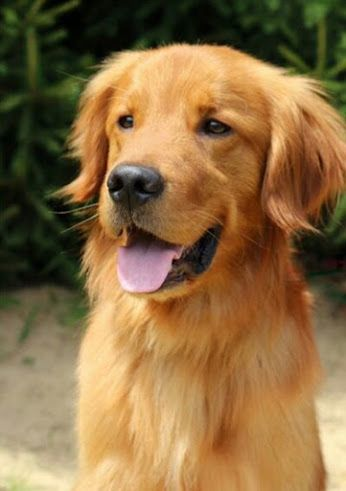 Google Dogs Golden Retriever Golden Retriever Rescue Dogs