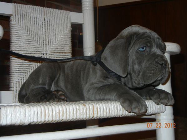 Neopolitan Mastiff Puppie Sorry I Keep Posting Pictures Of This Puppy But He Is So Darn Cute Baby Dogs Cute