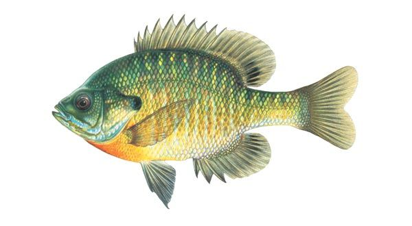 bream | Getting Started Fishing | Bream