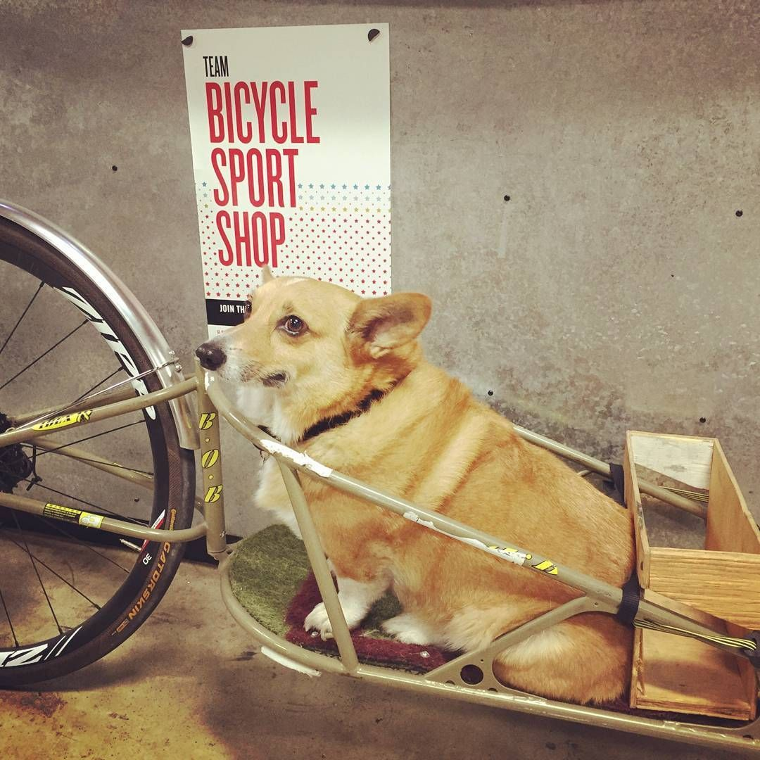 """""""Monty and I visited our number one shop this morning. Thanks everyone at @bicyclesportshop for all you do for #fairdalebikes #monty #corgi #bobtrailer…"""""""
