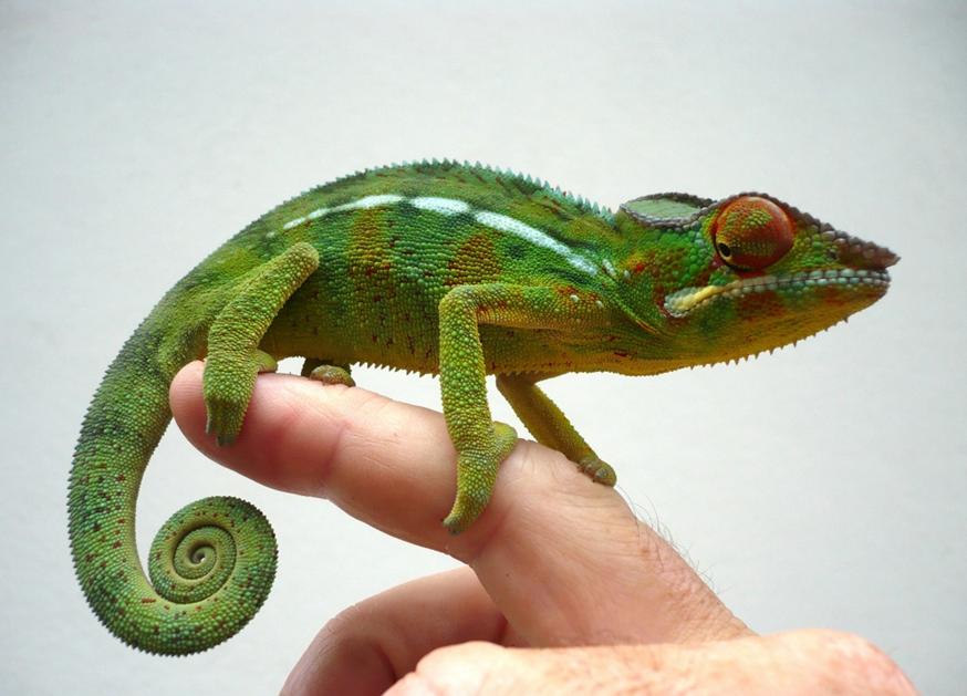 Caméléon | Gecko,lezard, salamandre et caméleon