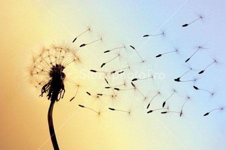 Dandelion Seeds Blown Away By Wind Blowing Dandelion Dandelion Dandelion Seed