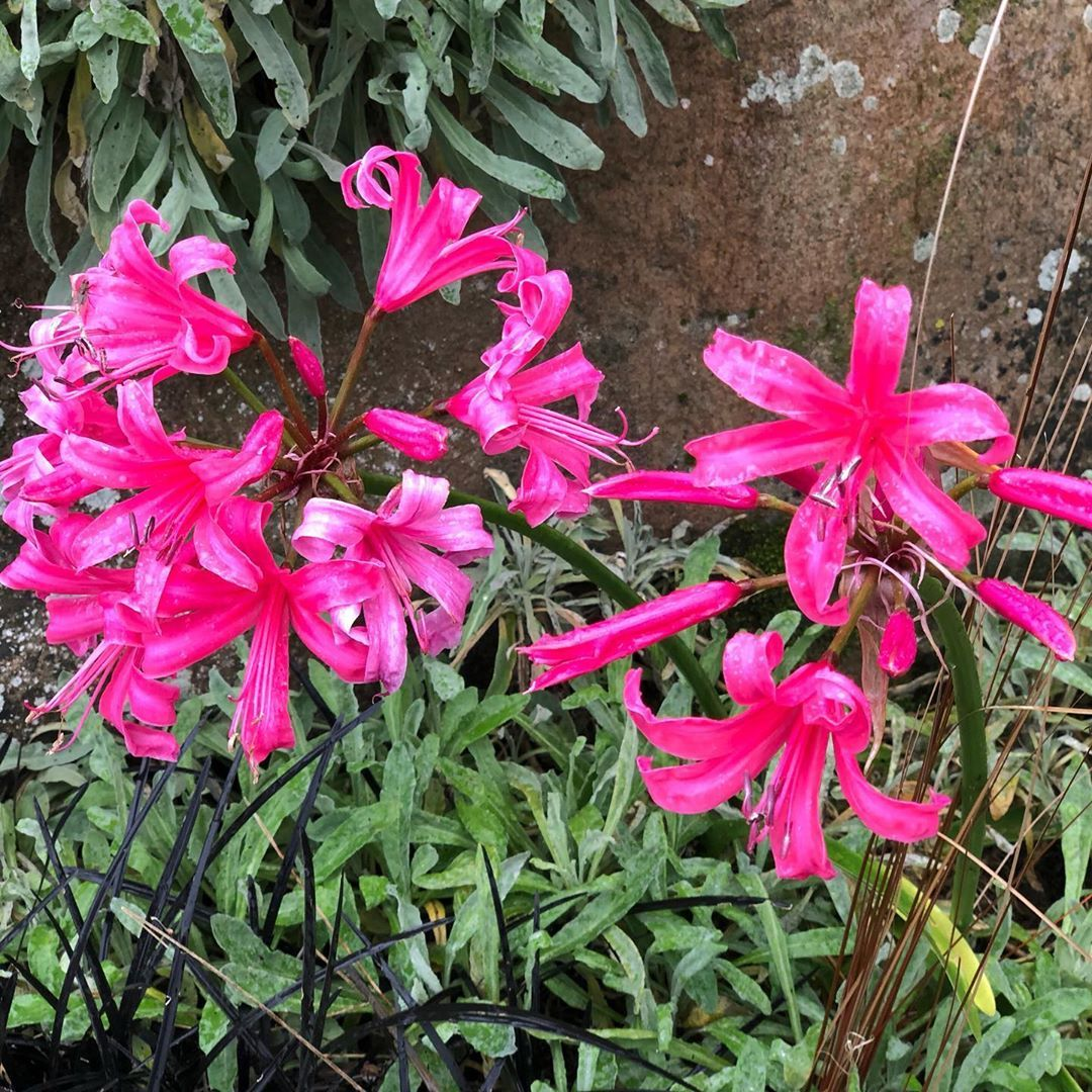 Met This Nerene Bowdenii Guernsey Lily Amazingly There Is No Filter On This Photo Nerenebowdenii Nofilter Garden Design Landscape Design English Garden