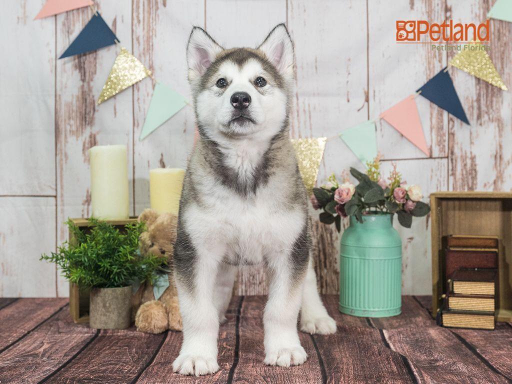 Puppies For Sale Malamute Puppies Cute Animals Alaskan