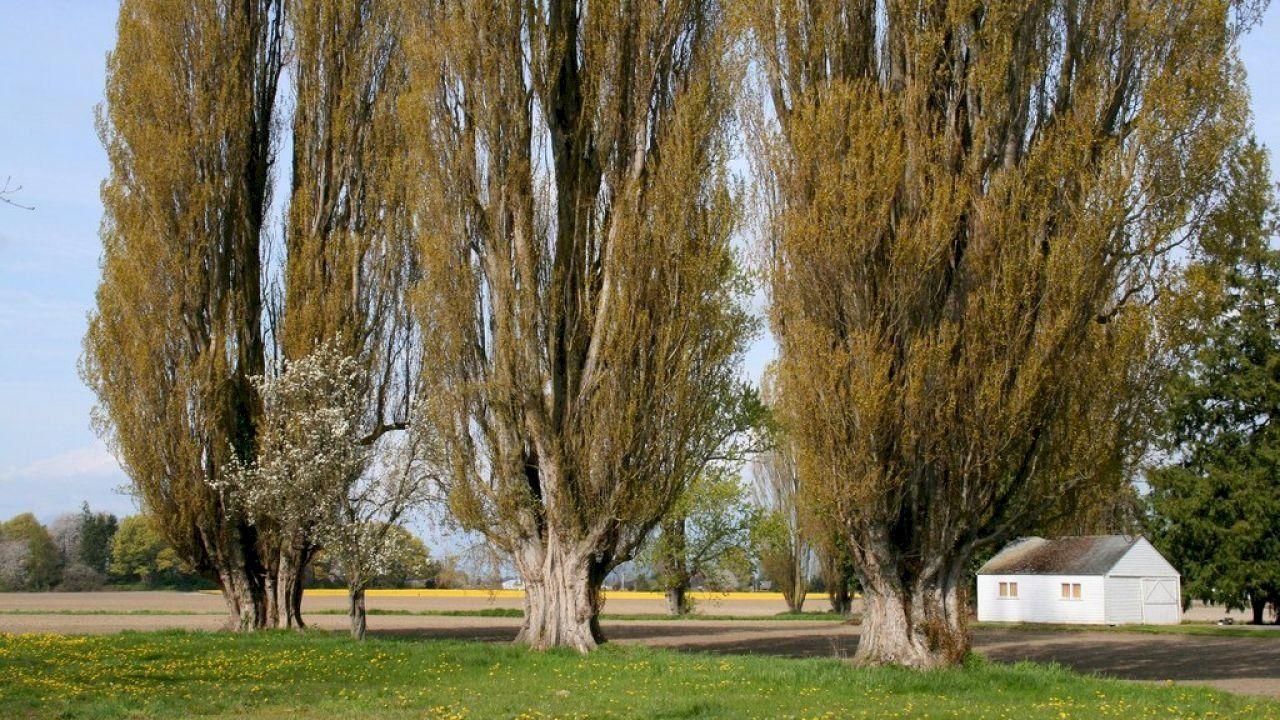 ما هو الحور العتيق Plants Tree Tree Trunk