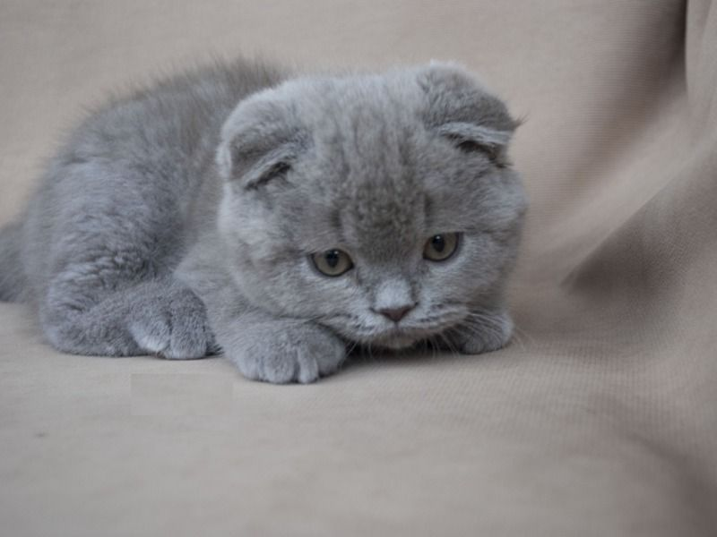 Scottish Fold Cat Kittens For Sale In Racine Wisconsin Wi Cat Scottish Fold Kitten Breeds Cats And Kittens