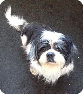 New Jersey Nj Shih Tzu Pekingese Mix Meet Jackson Nj Arnie A Dog For Adoption Pekingese Mix Dog Adoption Pet Adoption