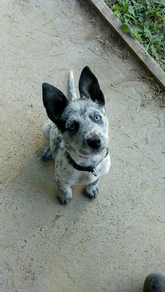 2 Month Old Blue Heeler Mix With Golden Retriever Pitbull