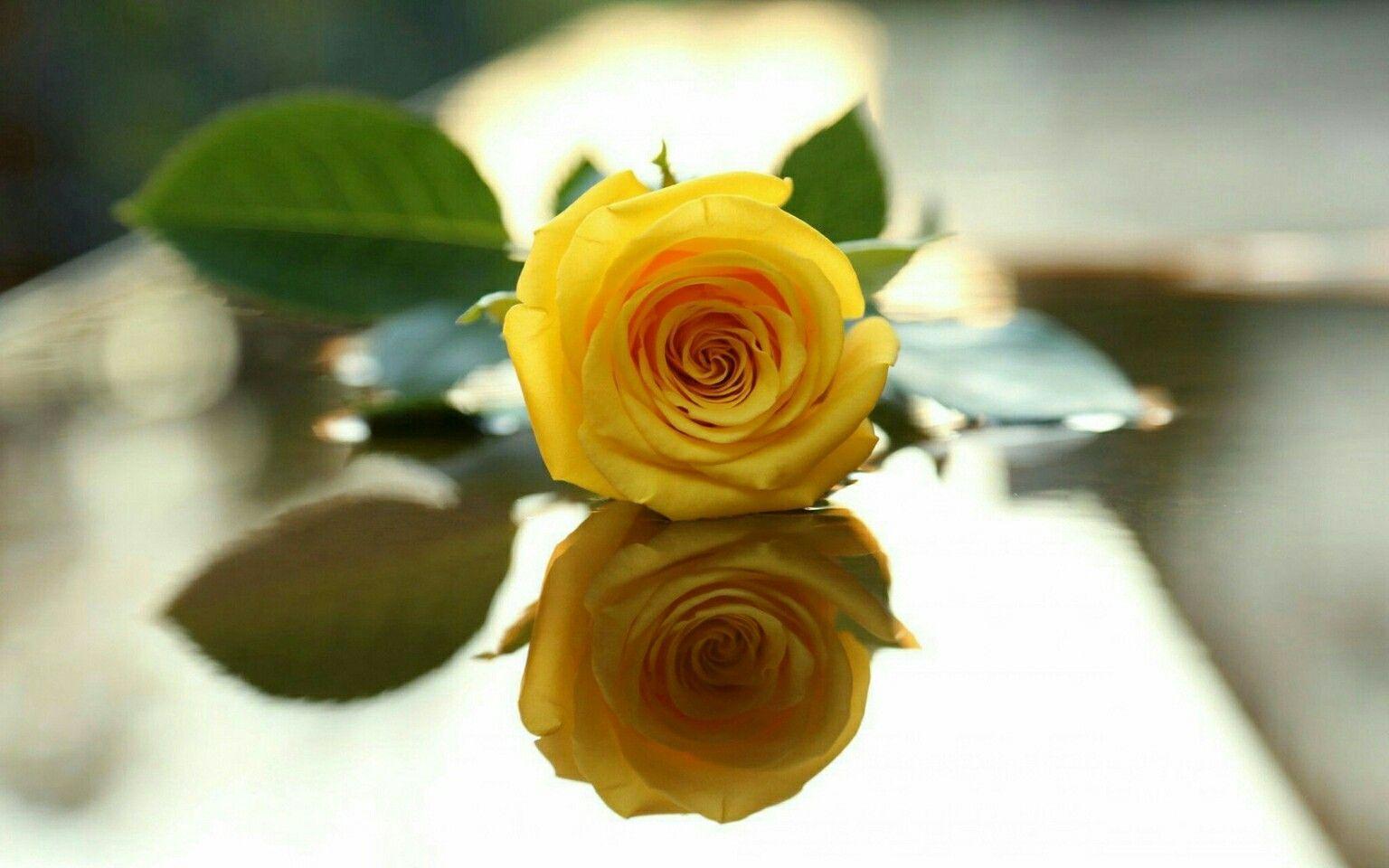 Pin By Priyanshi On Rose Yellow Roses Rose Wallpaper Yellow Rose Flower