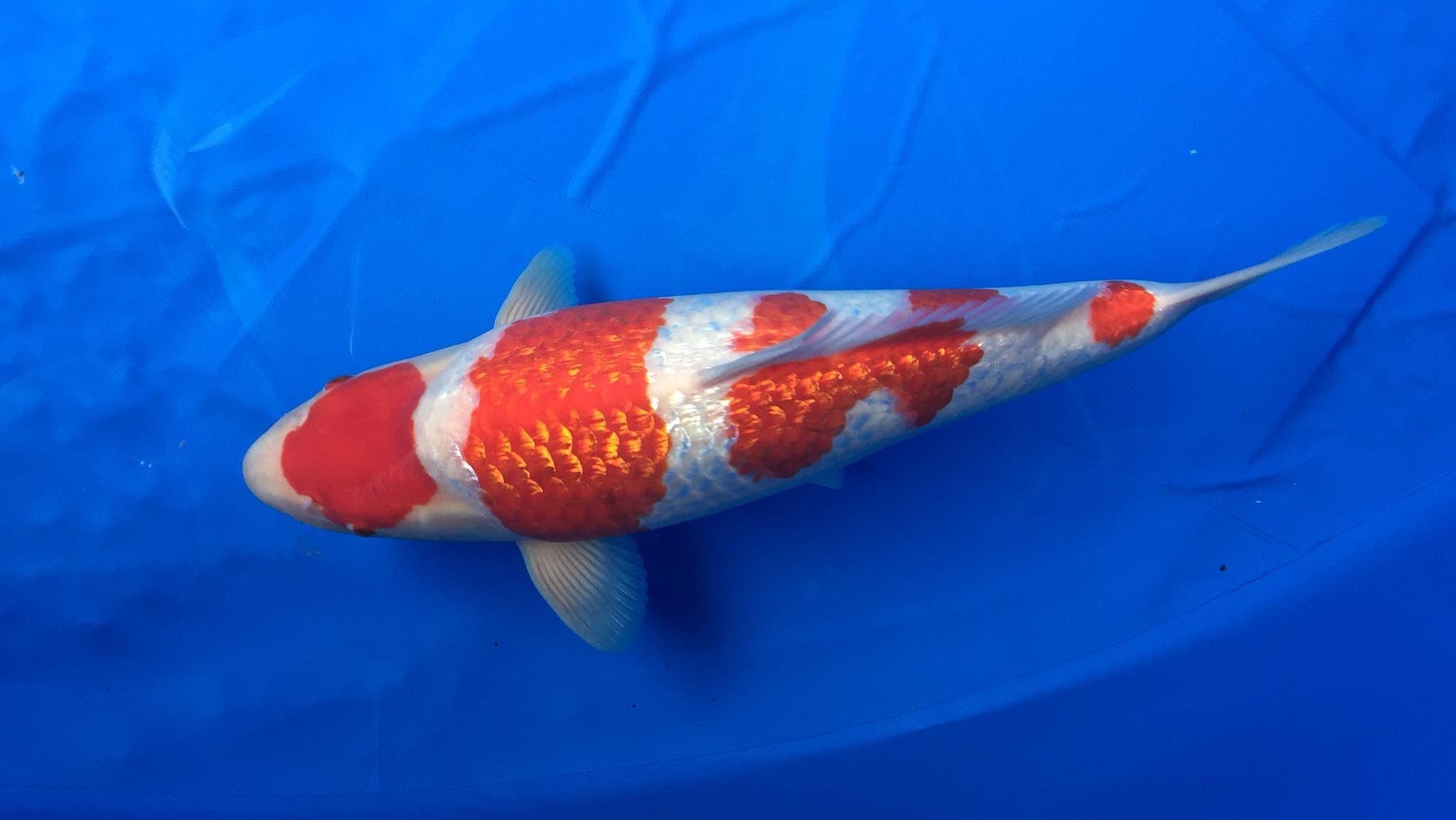 Ginrin Kohaku 鯉