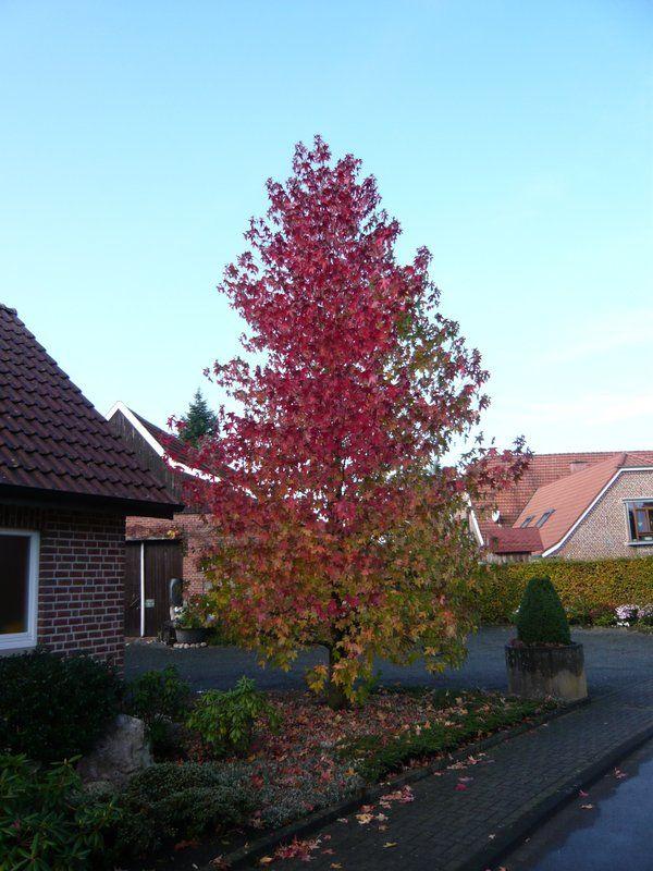 Weiterer Gartenpflanzen mit wunderschöner, leuchtend roter - gartenpflanzen